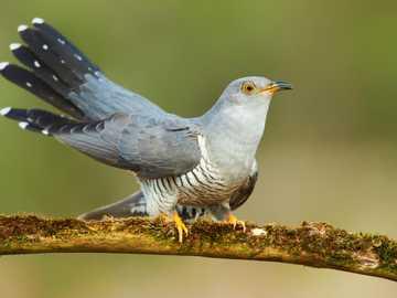 ptasia spryciara - kukułka siedzi na gałęzi
