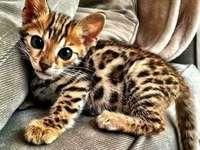 Quaste ❤ - Ein schönes bengalisches Kätzchen ❤