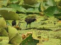 Galinha-d'água (ave aquática)