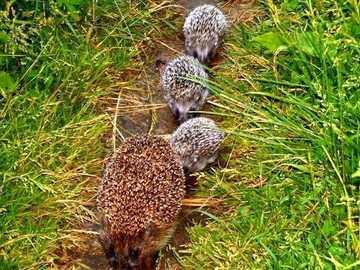 таралеж и малки таралежчета - горска пътека със семейство таралежи