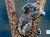 Australian Koala - The Australian Koala is sleeping sweetly