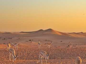 Zwierzęta na pustyni w Dubaju. - grupa białych ptaków na brązowym polu w ciągu dnia. Dubaj, Zjednoczone Emiraty Arabskie
