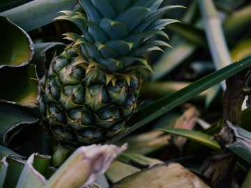 green pineapple - Little Pineapple. Sumilao, Philippines