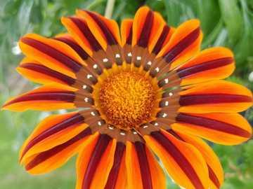 afrikanisches Gäsneblümchen - Gänseblümchen, gelb - orange, sehr fein