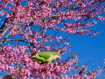 Papagei im Frühjahr - grüner Vogel auf rosa Blütenbaum während der Tagesfotografie. Barcelona, Spanien