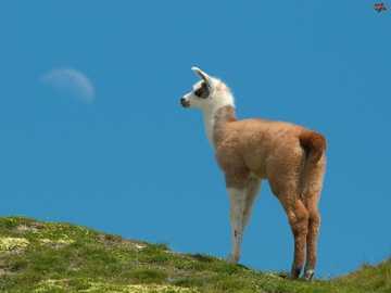 Llama on the hill - Little llama on the hill :)