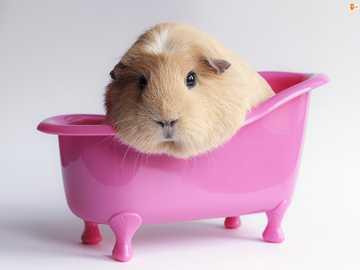 Świnka Morska we wanience - Malutka świnka morska- łatwe puzzle