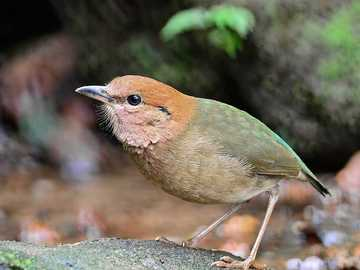 Redhead - Occurrence and environment. This bird occurs in the forests of southern Asia.