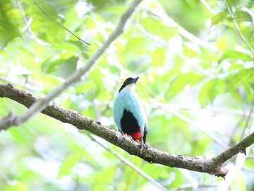 Giacca petto blu - Presenza e ambiente Questa specie si trova in Indonesia. Questo è endemico nelle Filippine.