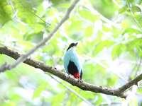 Blauw-breasted jasje - Voorkomen en omgeving Deze soort komt voor in Indonesië. Dit is endemisch in de Filipijnen.