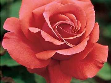 růže, růže nejkrásnější květina - růže, růže nejkrásnější květina