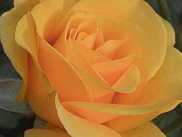 růže, růže žlutá květina - růže, růže žlutá květina