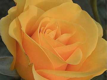krásná žlutá růže, nádhera - krásná žlutá růže, nádhera