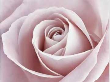 krásná růžová růže, květ - krásná růžová růže, květ