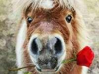 Un poney romantique