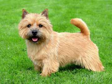 TERRIER NORVEGIC - Personajul Norwich terrier este unul dintre cei mai mici câini din grupul său. Dimensiuni mici - a