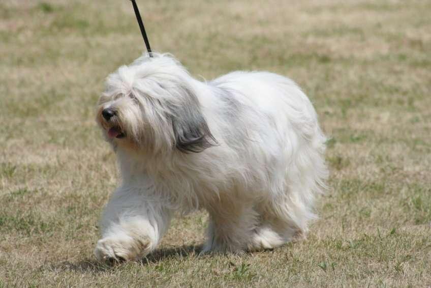 Cão pastor de planície polonês (MON) quebra-cabeça