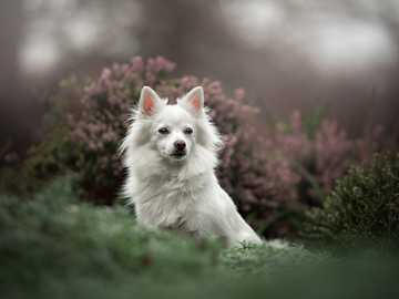 White pooch among heathers - Μικρό, λευκό ιαπωνικό Spitz σε ερείκη