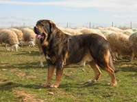 SPANISH MASTIF - Skills The Spanish Mastiff is an excellent guardian of herds of farm animals and belongings. Their a