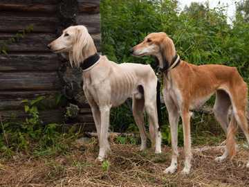 PERSKI HART - SALUKI - Levriero persiano del personaggio - Saluki ha una tale posizione tra i cani che gli arabi di razza p