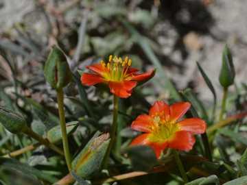 Calandrinia - Kleine Pflanze der Steppe und der hohen Berge des Nahuel Huapi Nationalparks