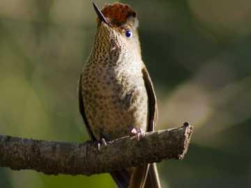Koliber rubinowy - Bardzo mały ptak Parku Narodowego Nahuel Huapi