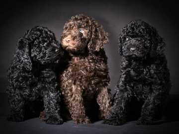 Barbet (francuski pies wodny) - Charakter Barbet to pies zrównoważony, spokojny, łagodny w stosunku do ludzi i innych zwierząt.