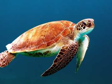 underwater world - beautiful and majestic turtle