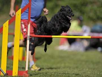 BERGER CROATIE - Caractère Ce chien Spitz de taille moyenne, agile et noir est un berger croate, destiné à l'