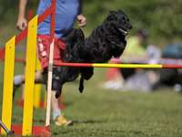 PASTOR CROÁCIA - Personagem Este cão Spitz preto, médio e ágil, é um pastor croata, destinado a pastorear ovelhas