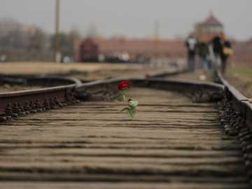 rote Rosenblume auf brauner Zugschiene - In Auschwitz-Birkenau gab eine Rose im Schrecken dieses Ortes etwas Schönheit zurück. Man konnte i