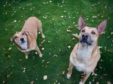 two brown dog standing on green grass - These are my rescued dogs, I used some dog food to get their attention. I also waited for an overcas