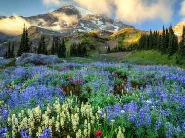 Flower Meadow On A Background Of Mountains - Flower Meadow, Mountains, USA National Park