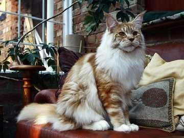 Maine Coon - Maine Coon