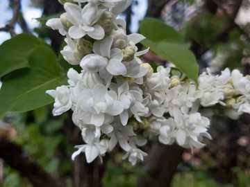 lila blanca - lila blanca y fragante