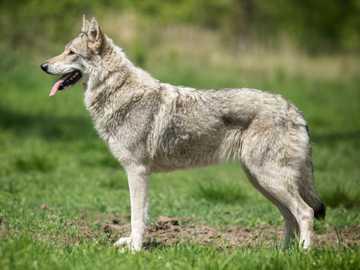 Chien-loup de Saarloos - Les compétences de Saarloosa fonctionnent bien dans les sports de traîneau et en tant que chiens d