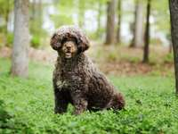 CANE DI PROVA DEL PORTOGHESE - Addestrare e educare il cane da acqua portoghese impara rapidamente e volentieri. Anche un proprieta