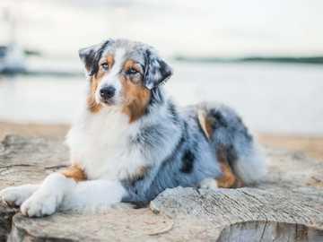 Pastore australiano - I cani da pastore sono carini !!!