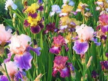 Garden Flowers, Irises - Garden Colorful Flowers, Irises