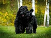 BLACK TERIER - Habilidades A tarefa original do terrier preto era a guarda. Atualmente, ele é principalmente um c�