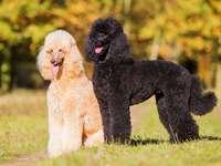 SACO GRANDE - Personagem O menor poodle, brinquedo, lembra um brinquedo. O poodle miniatura é um pouco maior. Ele