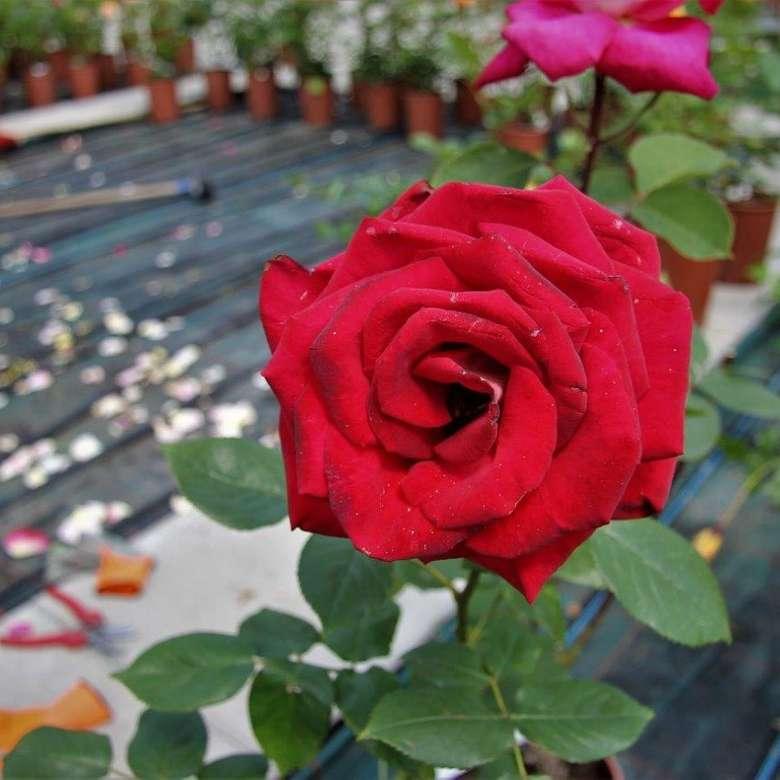 linda rosa vermelha