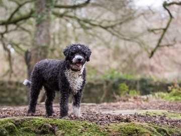HISZPAŃSKI PIES DOWODNY - Charakter Hiszpańskie psy dowodne zarówno w stosunku do ludzi, jak również innych psów i zwierz