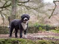 CANE DI PROVA SPAGNOLO - I cani di carattere spagnolo, sia nei confronti dell'uomo che degli altri cani e animali domest