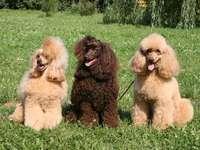 PUDEL MÉDIO - Treinamento e educação Os Poodles são inteligentes e dispostos a cooperar com as pessoas. Até um