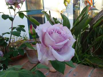 Starożytna róża - Η θεία Chiarina μας έδωσε ένα κόψιμο και