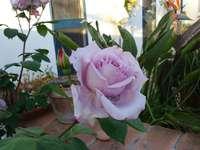 A rosa antiga