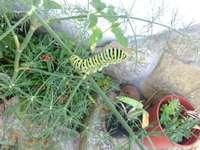 Lagarta de mariposa