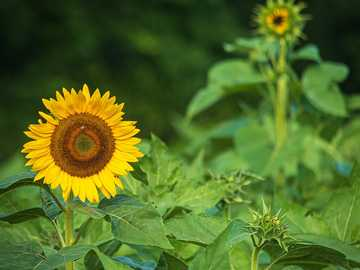 sunflower - Sunflower in waiting in the background with sunflower in front getting all the attention. Pindar Vin