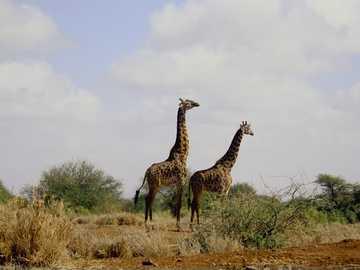 dwa żyrafy - Dwie żyrafy, które wkrótce będą się kojarzyć na wolności.
